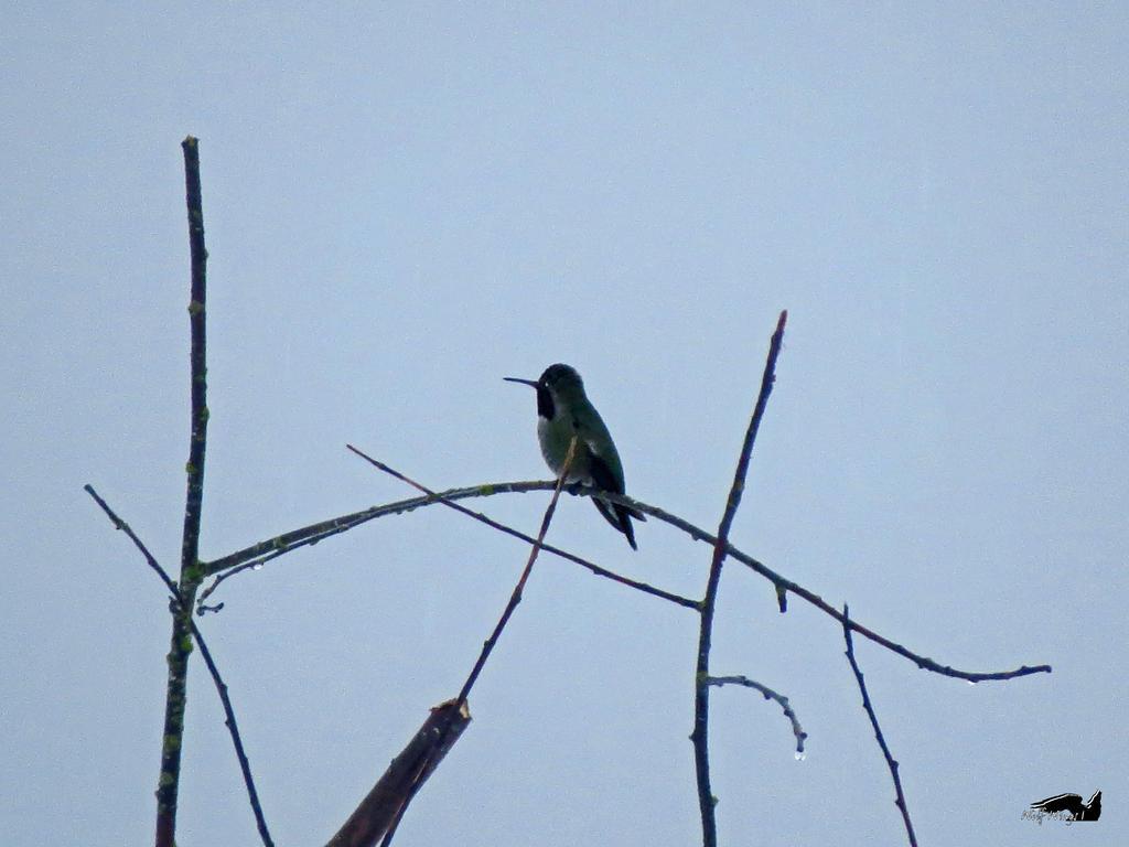 Humming Bird In Tree by wolfwings1