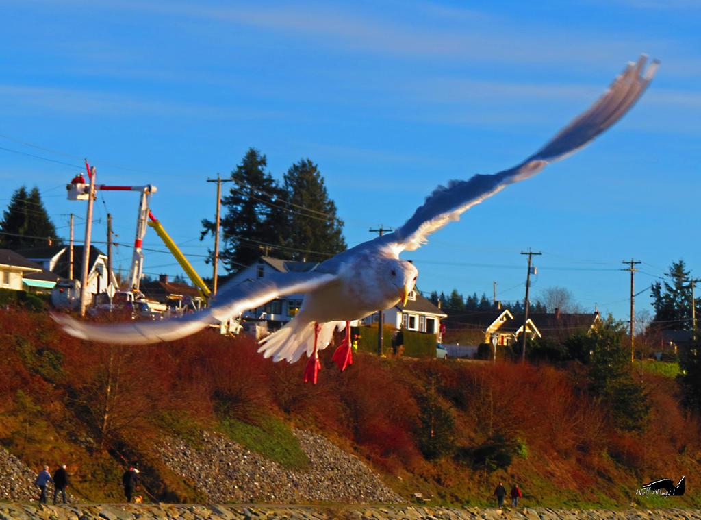 Banking Seagull In Flight by wolfwings1