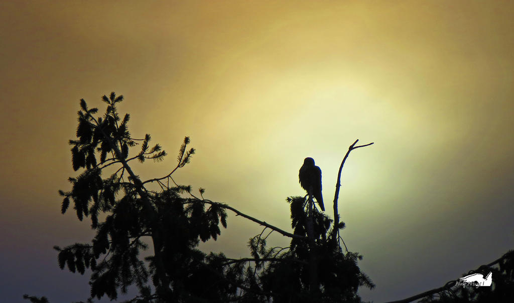 Sun Falcon by wolfwings1