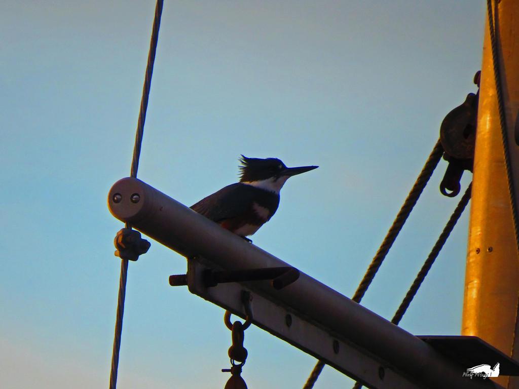 Kingfisher In Riggings by wolfwings1
