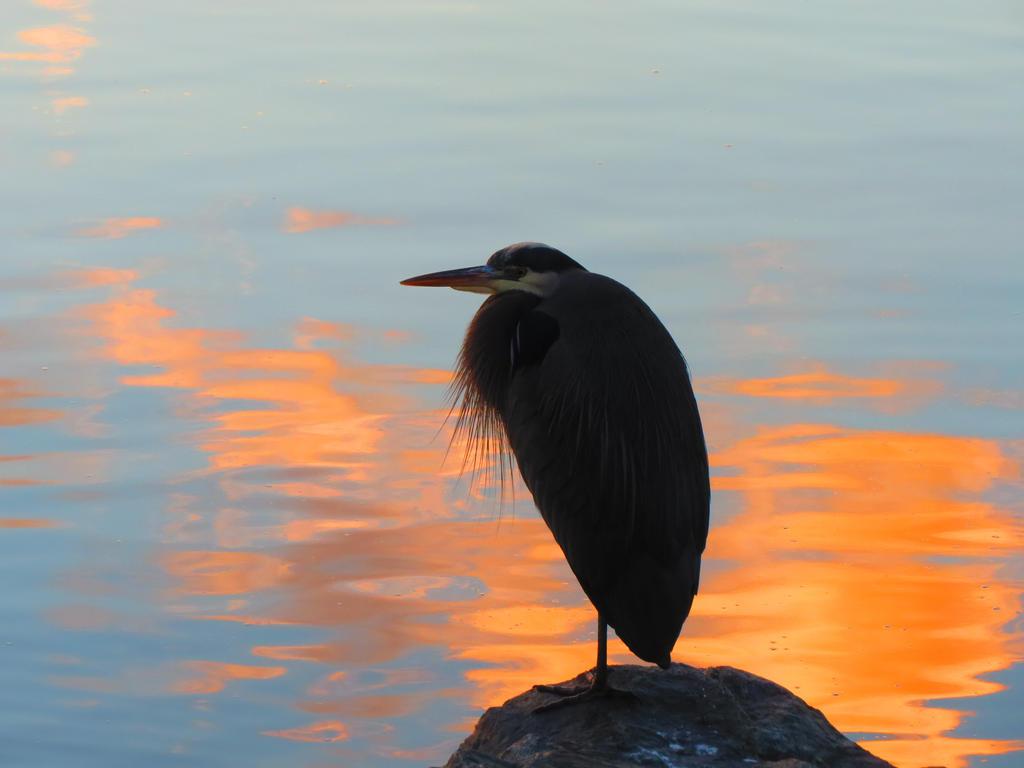 Orange Sunset Sea Heron by wolfwings1