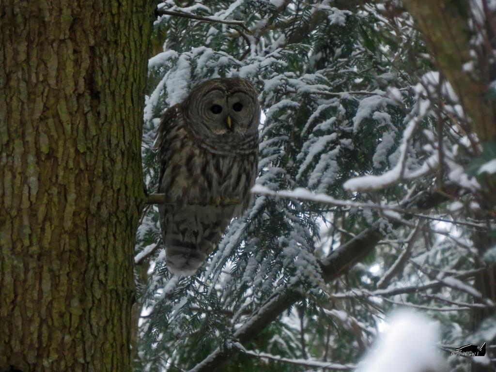 Winter Barred Owl by wolfwings1