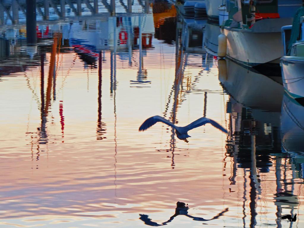 Heron Escaping Across Water by wolfwings1