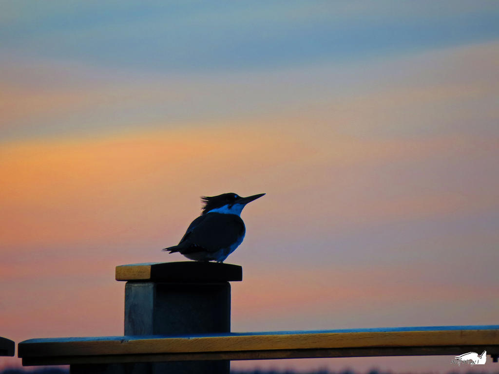 Kingfisher On Sunset Rail by wolfwings1
