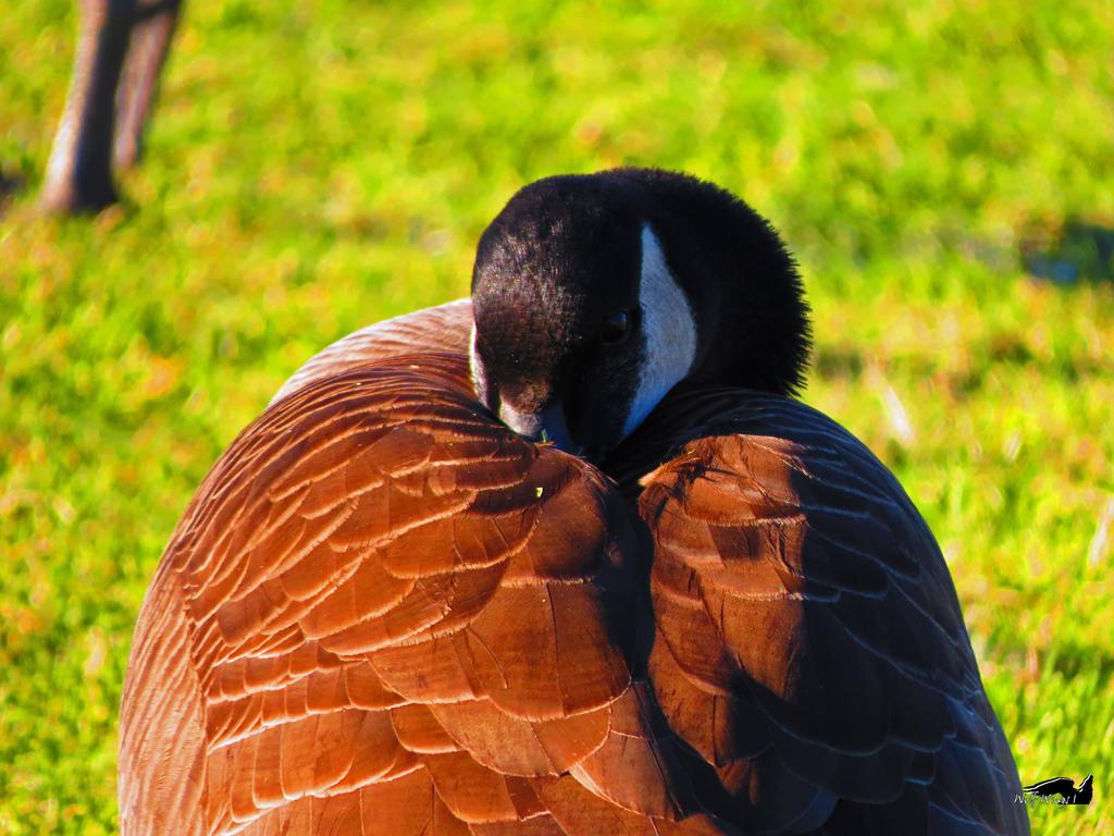 A Sleepy Goose by wolfwings1