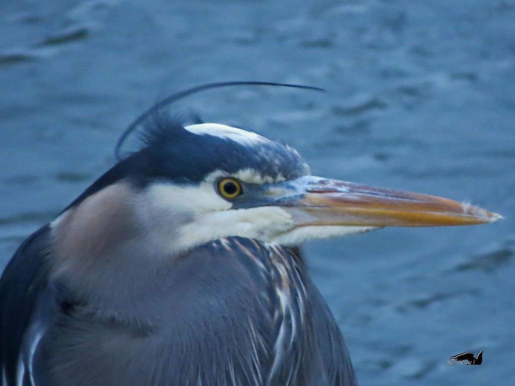 Windy Heron Against Water by wolfwings1