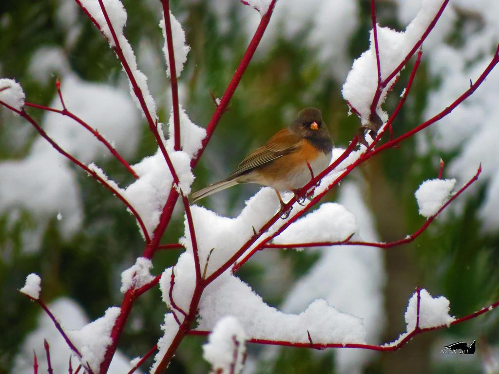 Christmas Junco by wolfwings1