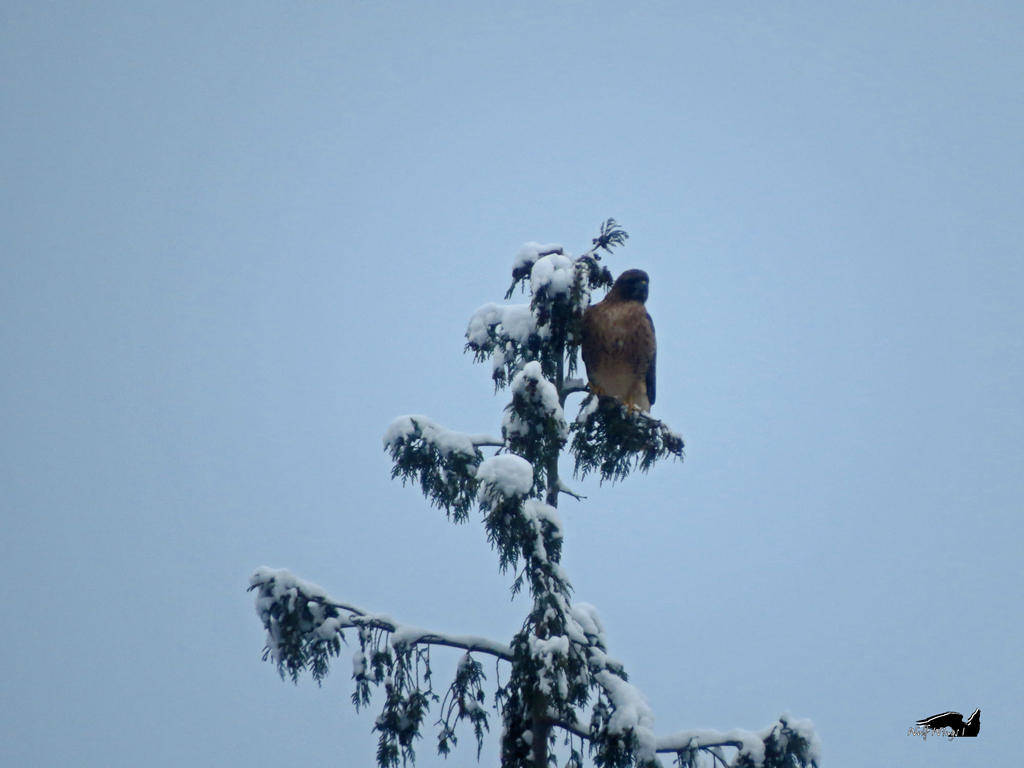 Hawk On Lookout by wolfwings1