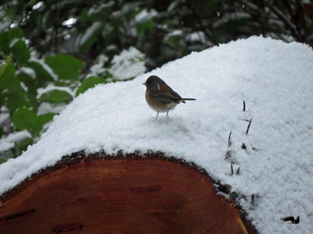 A Junco Having Logged On by wolfwings1