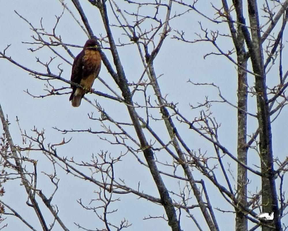 A Mustached Hawk by wolfwings1