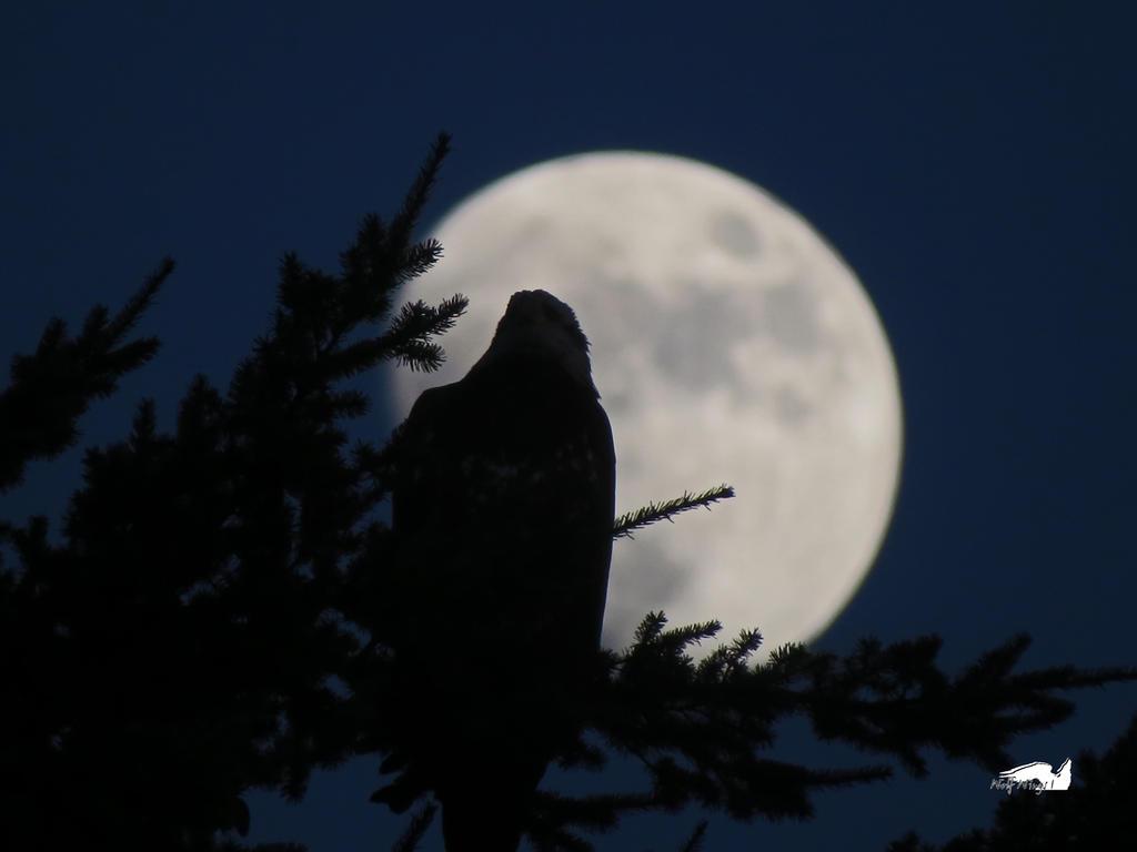 Shadow Eagle Moon by wolfwings1