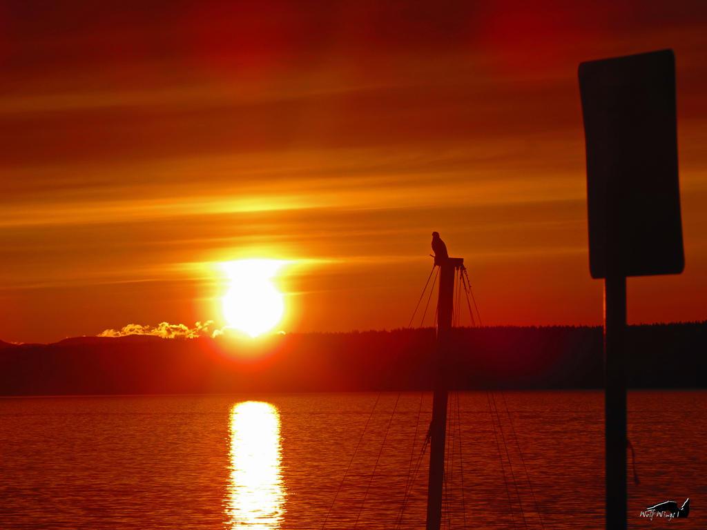 Juvenile Bald Eagle Enjoying Nuclear Sunset by wolfwings1