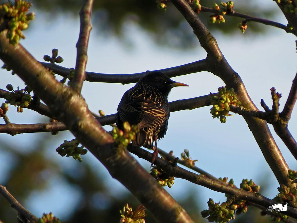 Tree'd Starling by wolfwings1