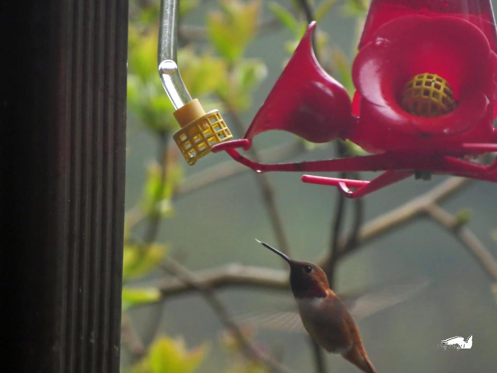 Humming Bird Licking Beak by wolfwings1
