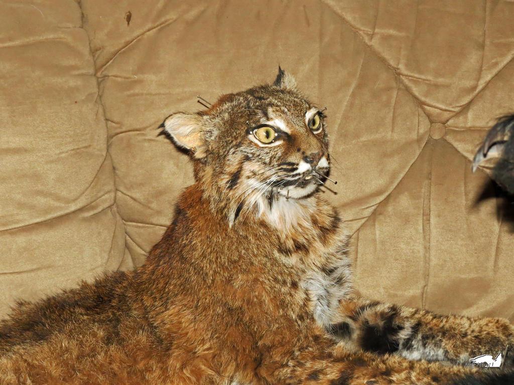 Clockwork Orange Cat Edition by wolfwings1