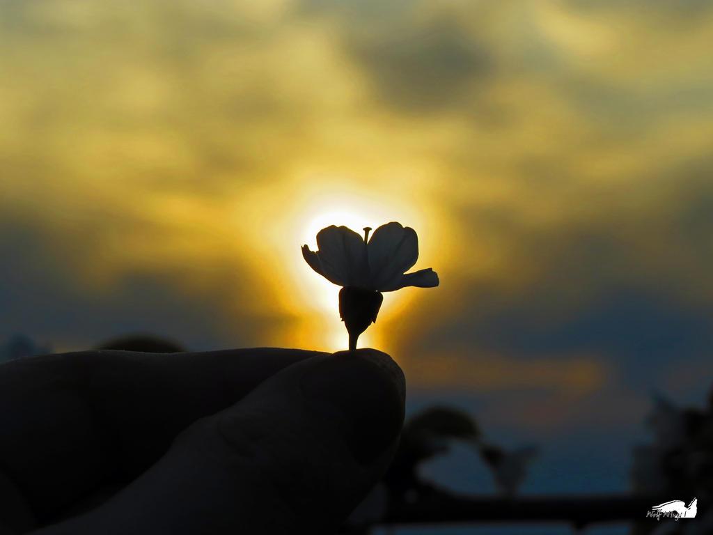 Sun Flower by wolfwings1