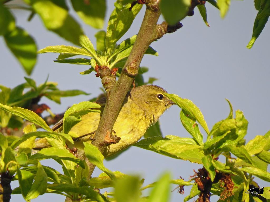 Hiding Yellow Bird by wolfwings1