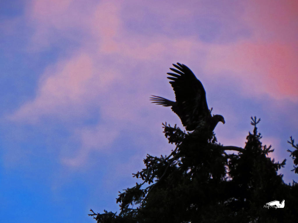 The Shadow Eagle Settles As The Night Dawns by wolfwings1