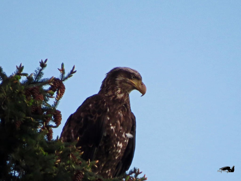 Young Eagle Sitting High Up by wolfwings1