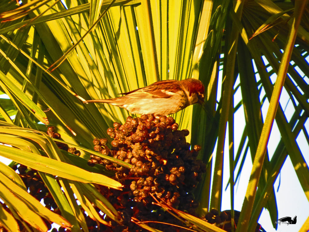 Palm Berry Sparrow by wolfwings1