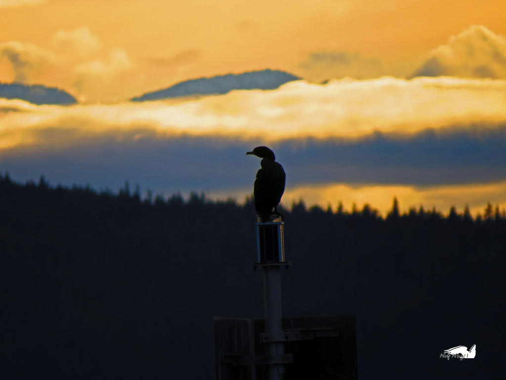 Cormorant Against Golden Sky by wolfwings1