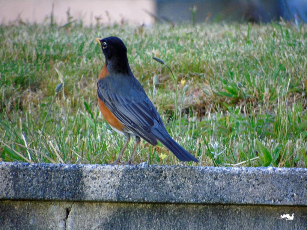 Proud Robin by wolfwings1