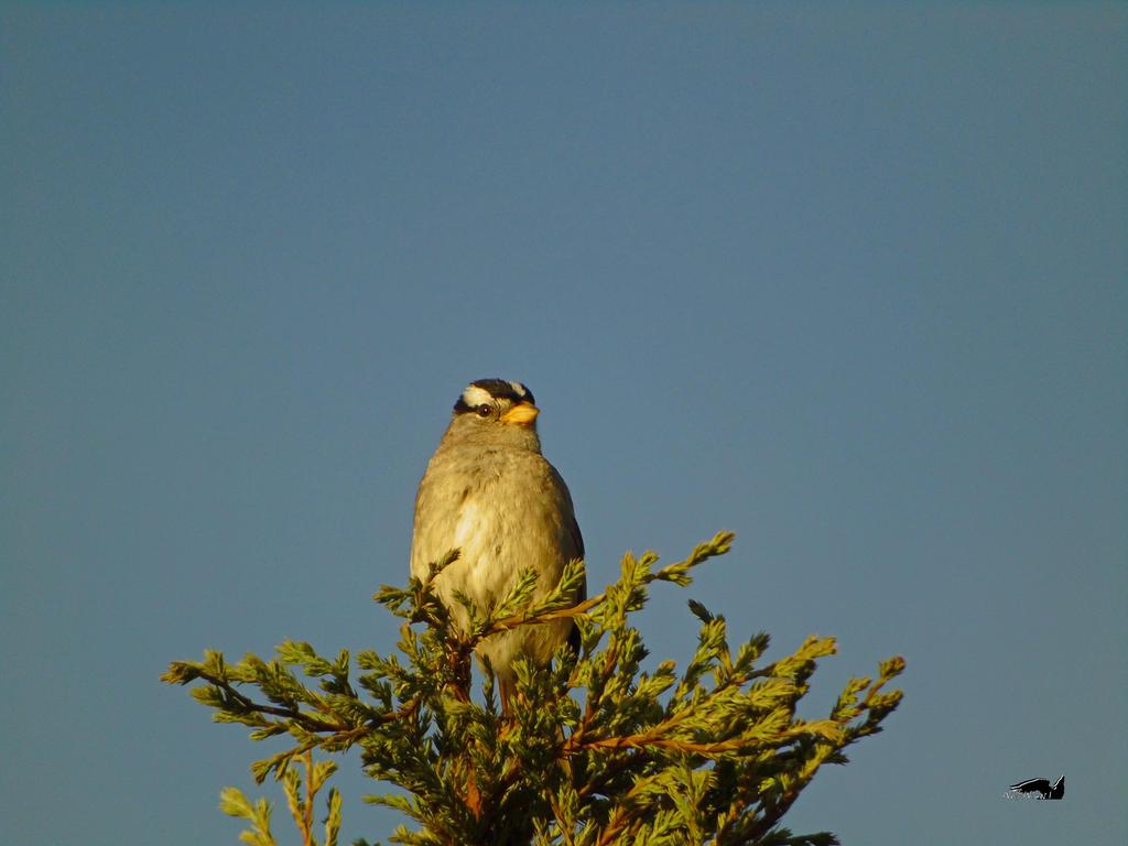 Sparrow High In Tree by wolfwings1