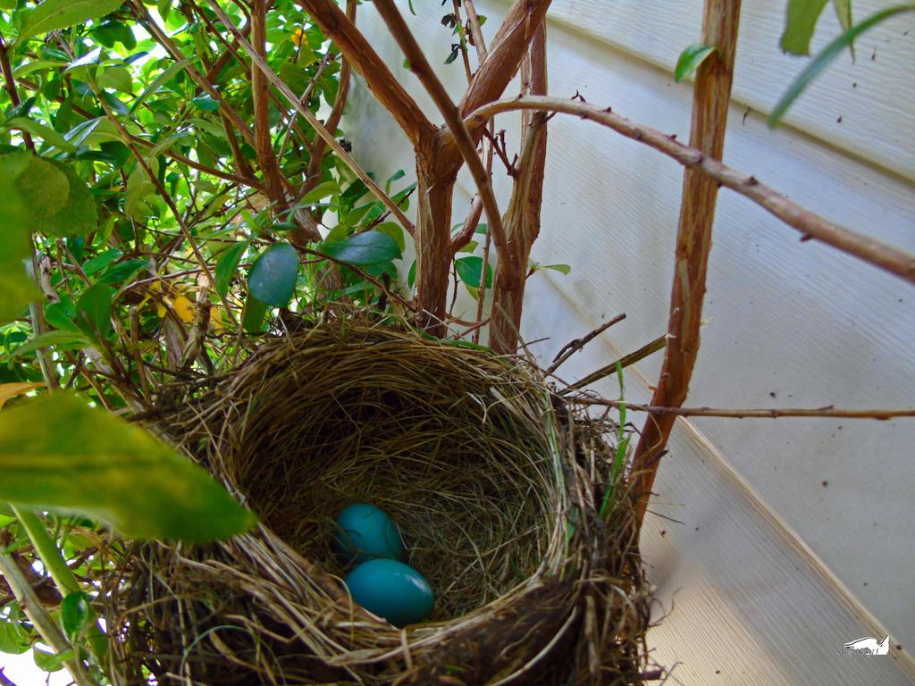 Robin Nest In Tree by wolfwings1
