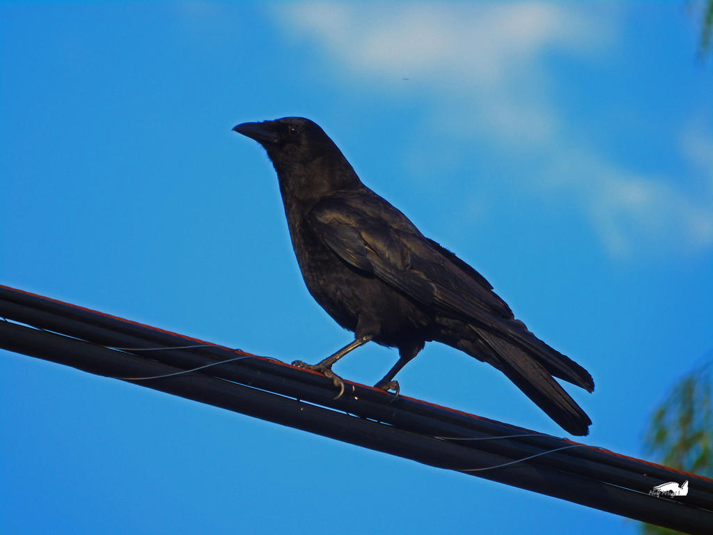 Crow On Wires Against Clouds by wolfwings1