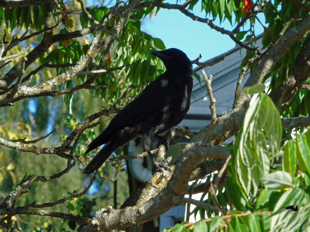 Crow On A Branch by wolfwings1
