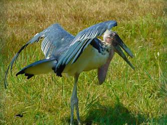 Stork Spreading WIngs