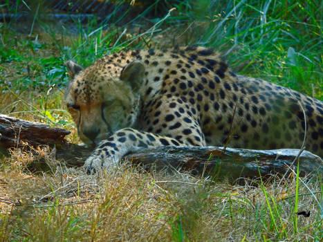 Sleepy Cheetah And Their Stick