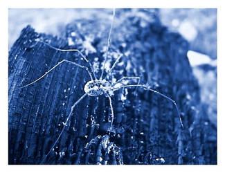 Blue Spider by eikei