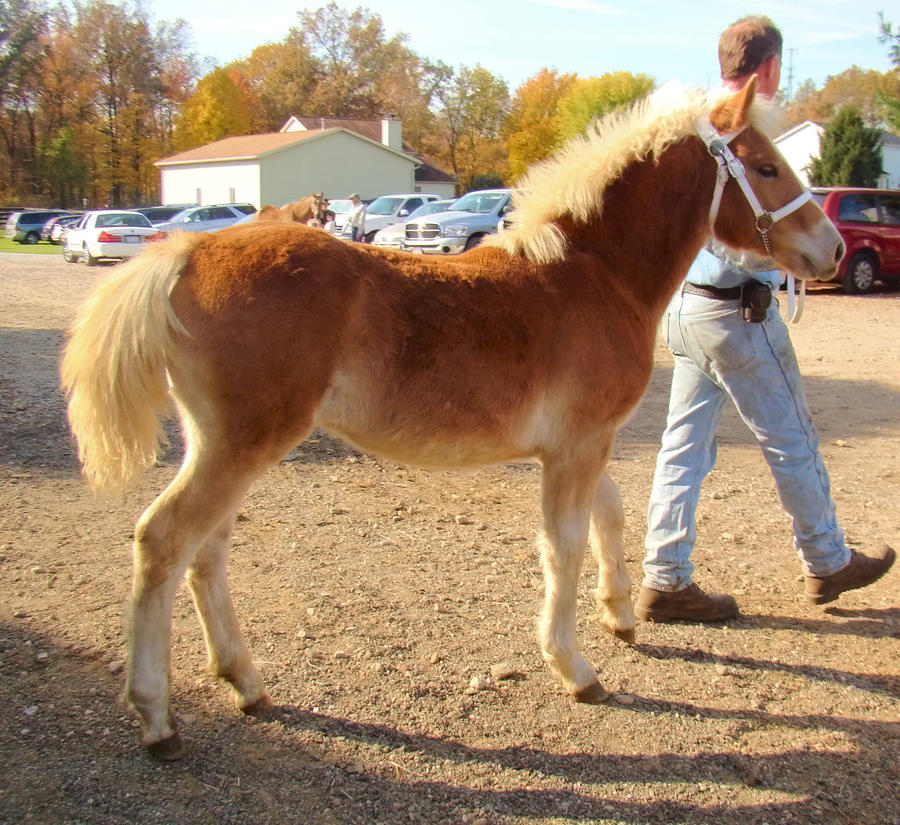 Haflinger Foal 1 by shi-stock