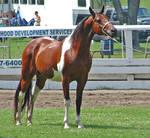 Halter Horse 17