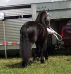 Fresian horse stock