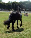Friesian horse stock