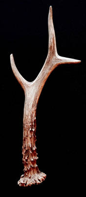 Roe deer mount 3, the antler