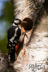 Great Spotted Woodpecker by stebev