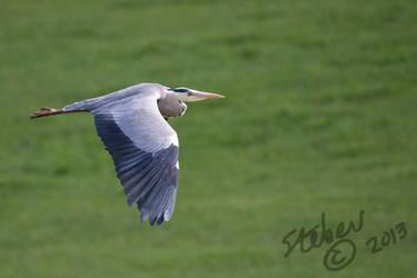 Heron In Flight by stebev