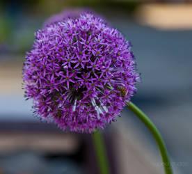 Bee on Purple Flower by lupiniastudios