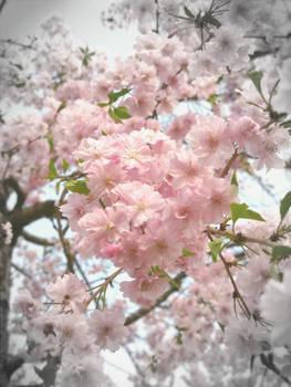 Pretty Pink Cherry