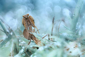 The Boxer Mantid by djusa