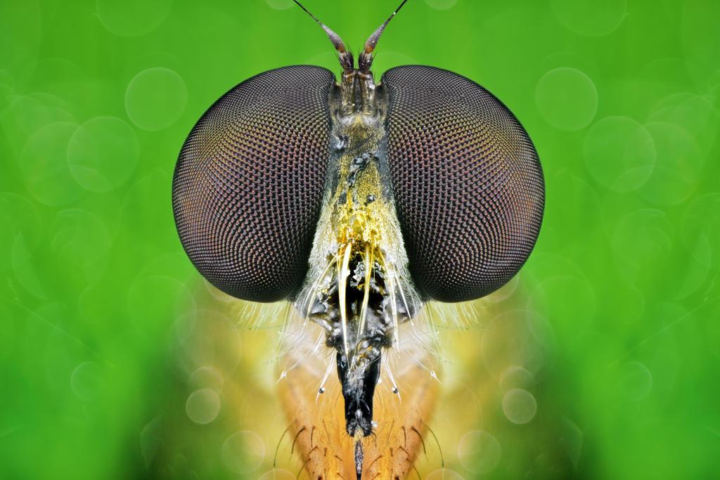 The Orange Robberfly by djusa