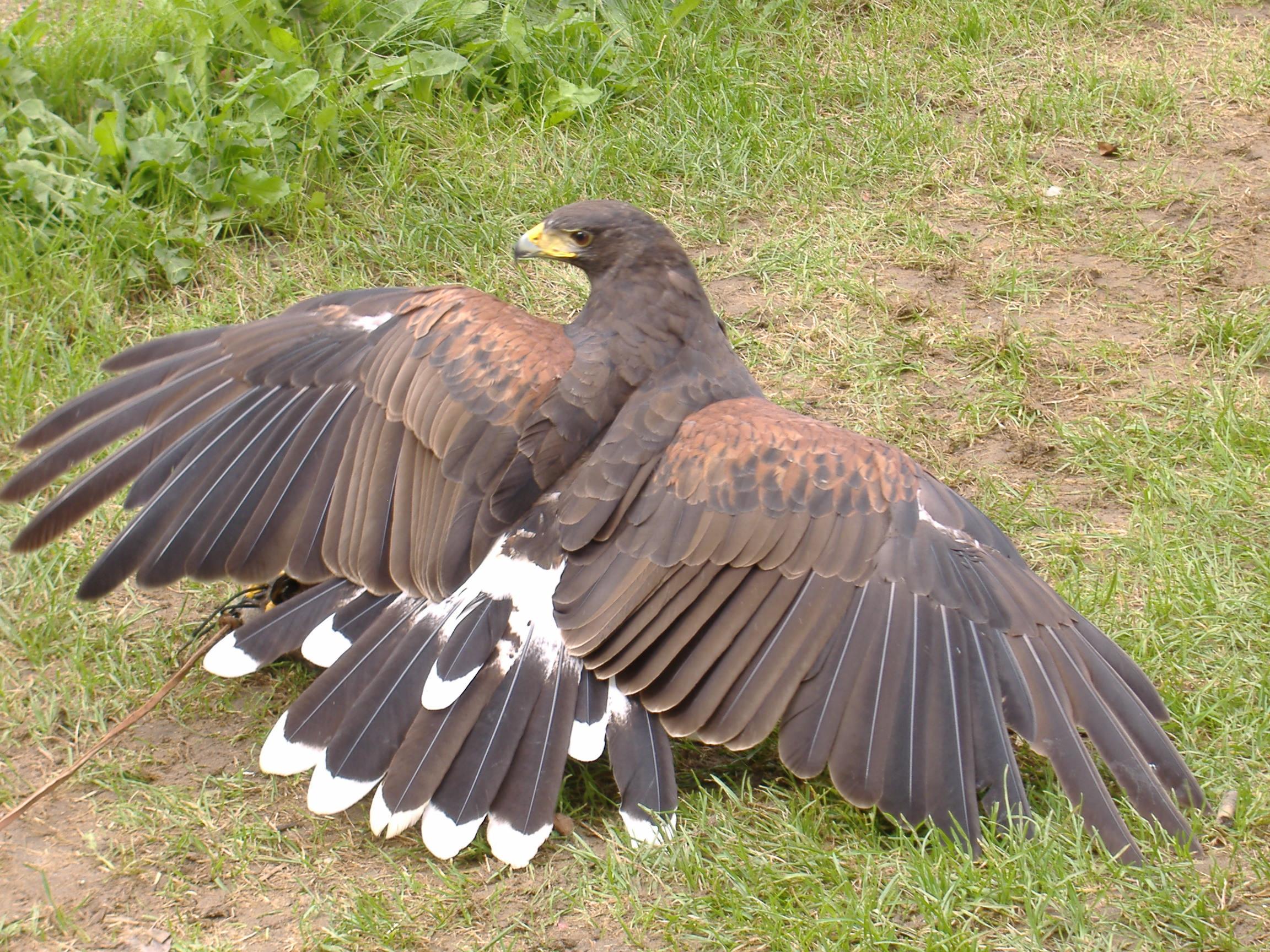 Hawk 2 by akirastock