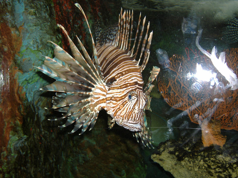 Lion Fish by akirastock