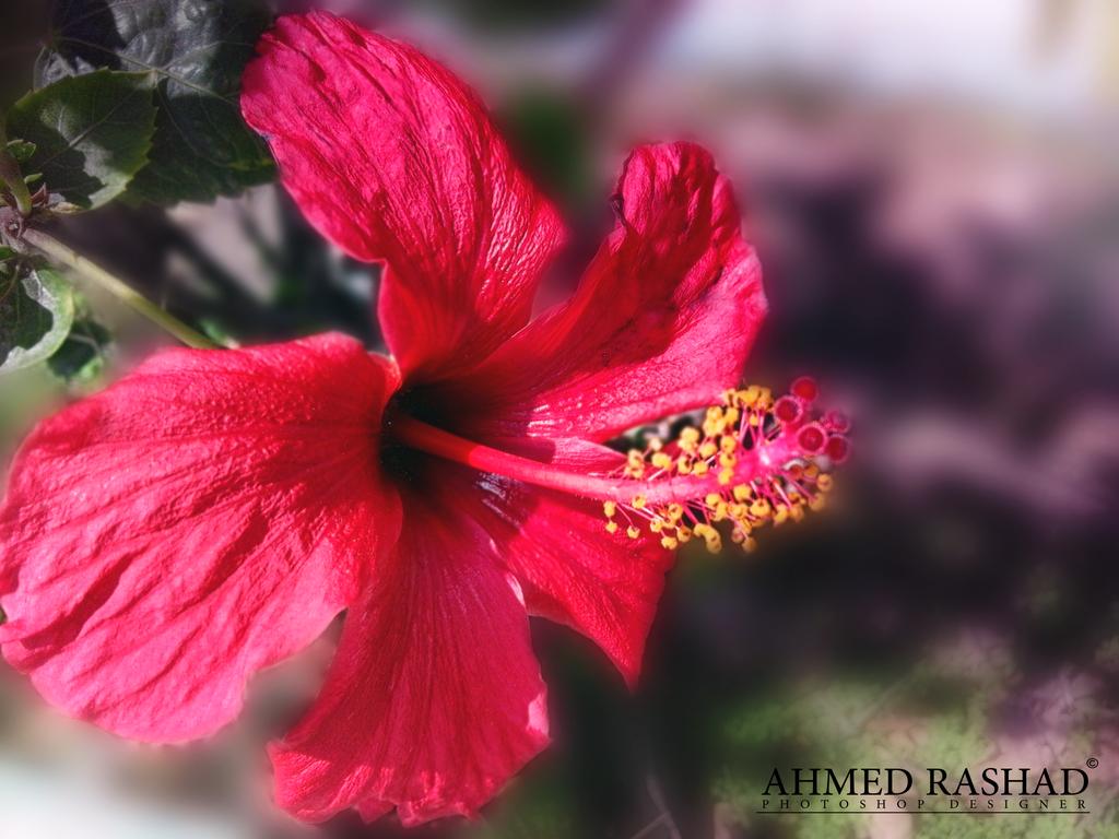 rose by Ahmed-Rashad-Art