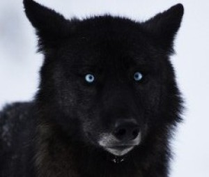 Image result for black wolf with blue eyes