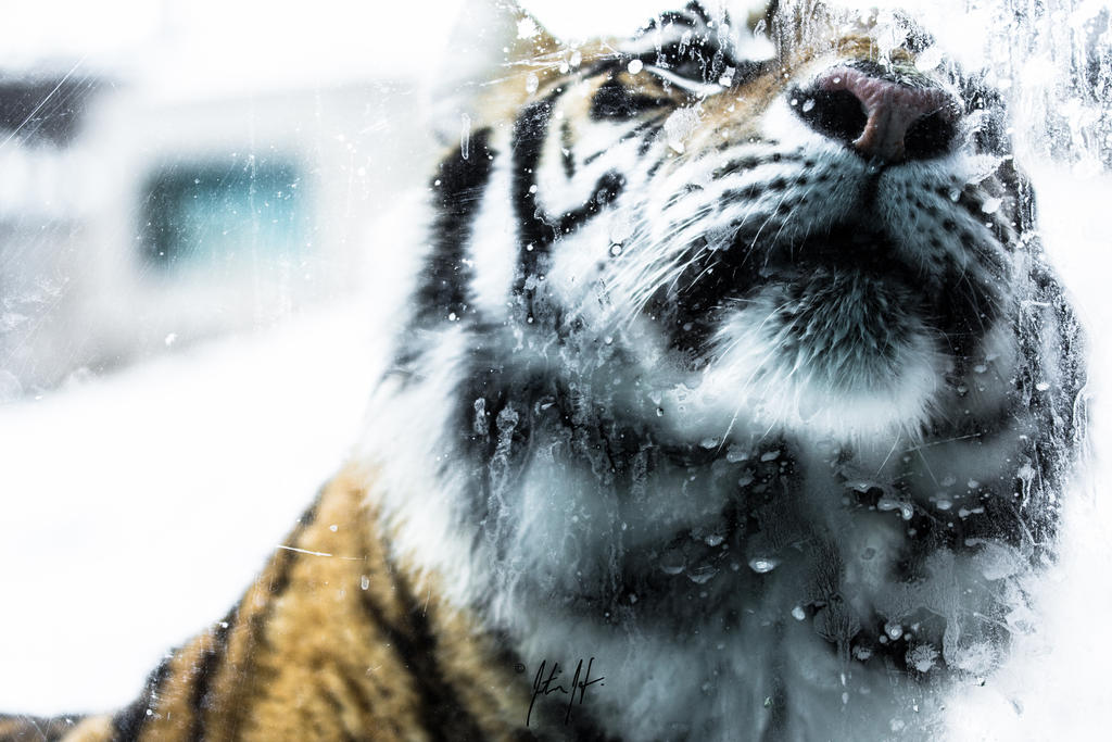 WHo dat? - tiger - Dakota Zoo series #10 by laOMmer on deviantART