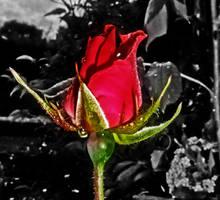 Night Rose by EKAndy
